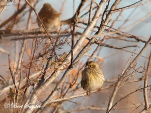 European Serin Bird Hide BSP2 Portugal