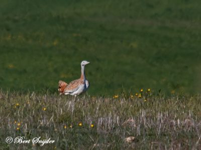 Great Bustard Bird Hide BSP5 Portugal