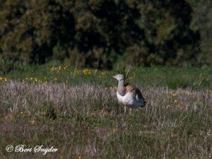Great Bustard Bird Hide BSP5 Portugal