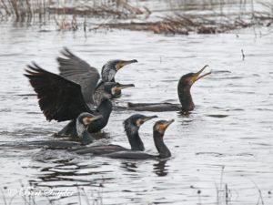Great Cormorant Bird Hide BSP2 Portugal