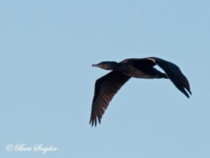 Great Cormorant Bird Hide BSP3 Portugal