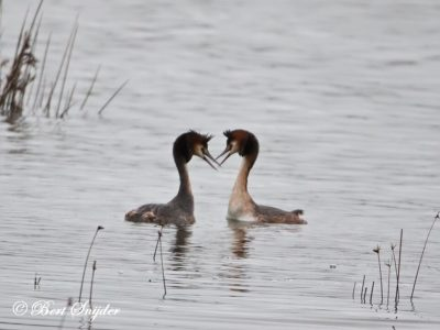 Great Crested Grebe Bird Hide BSP2 Portugal