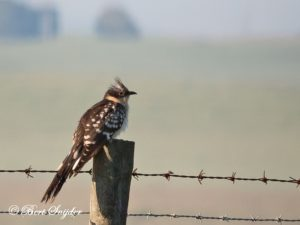 Great Spotted Cuckoo Bird Hide BSP6 Portugal