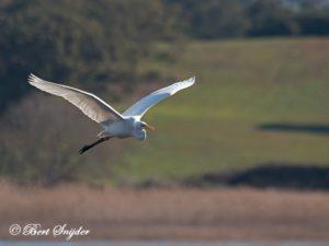 Great White Egret Bird Hide BSP2 Portugal