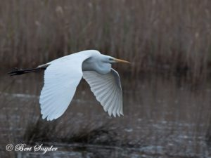 Great White Egret Bird Hide BSP2 Portugal
