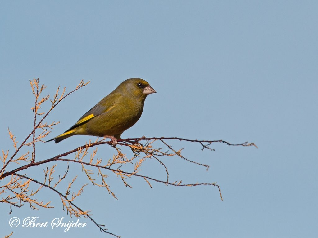 Greenfinch Bird Hide BSP2 Portugal