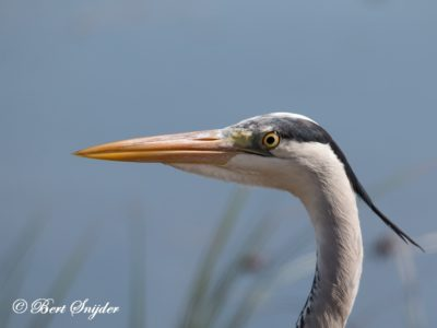 Grey Heron Bird Hide BSP2 Portugal