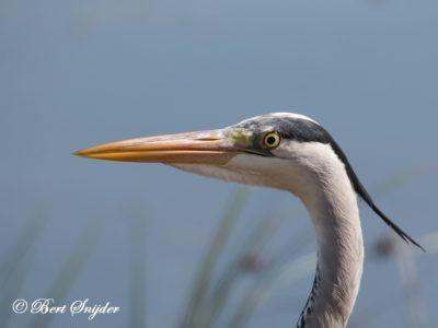 Grey Heron Bird Hide BSP2 Portugal