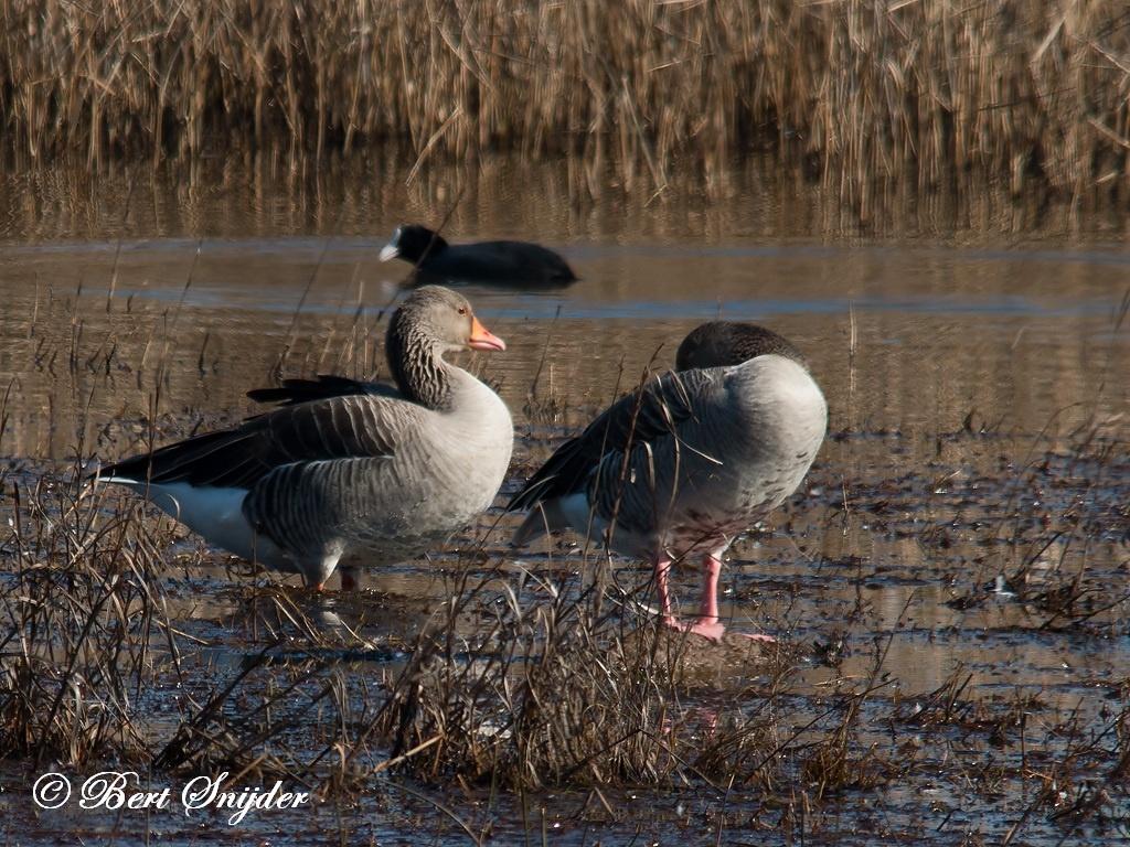 Greylag Goose Bird Hide BSP2 Portugal