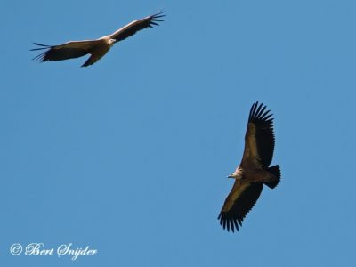Griffon Vulture Bird Hide BSP6 Portugal