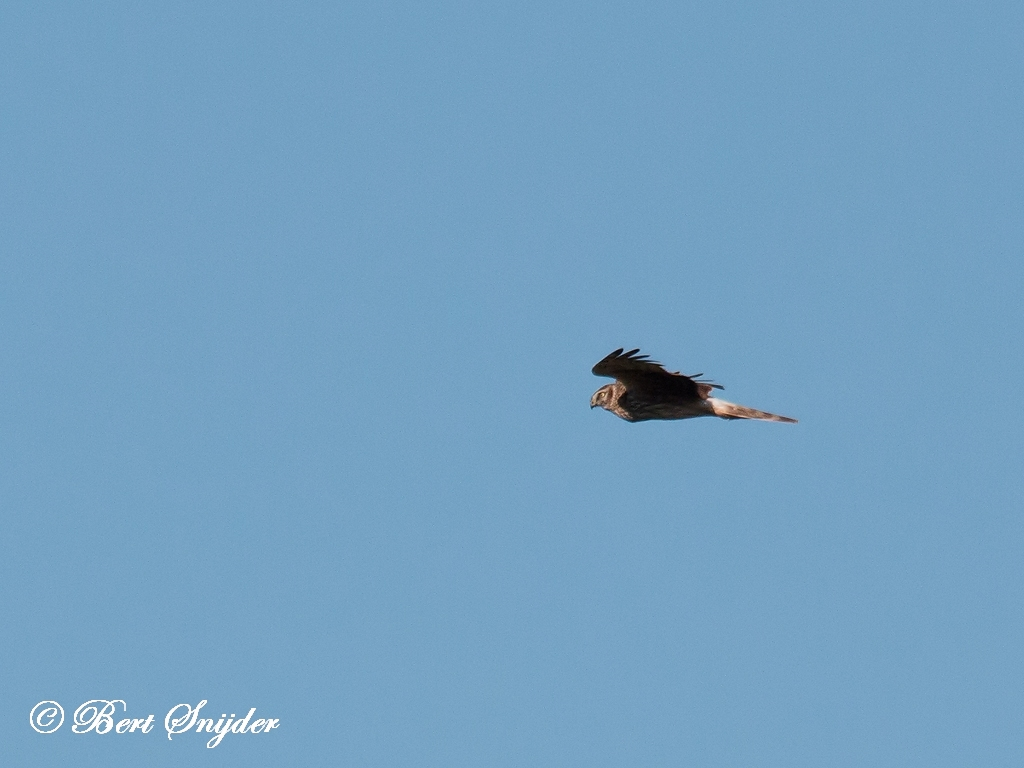 Hen Harrier Bird Hide BSP5 Portugal