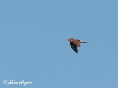 Hen Harrier Bird Hide BSP5 Portugal