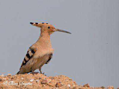 Hoopoe Bird Hide BSP6 Portugal