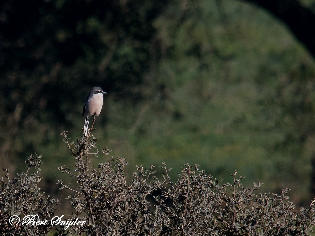 Iberian Grey Shrike Bird Hide BSP5 Portugal