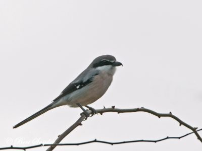 Iberian Grey Shrike Bird Hide BSP2 Portugal