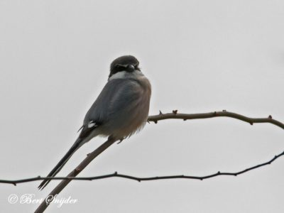 Iberian Grey Shrike Bird Hide BSP2 Portugal