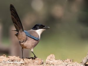 Iberian Magpie Bird Hide BSP5 Portugal