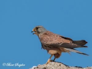 Kestrel Bird Hide BSP6 Portugal