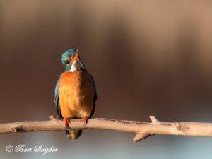 Kingfisher Bird Hide BSP3 Portugal
