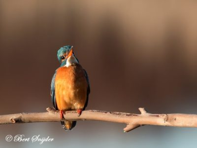 Kingfisher Bird Hide BSP3 Portugal