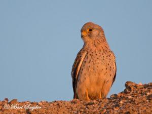 Lesser Kestrel Birding Portugal