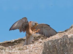 Lesser Kestrel Bird Hide BSP6 Portugal