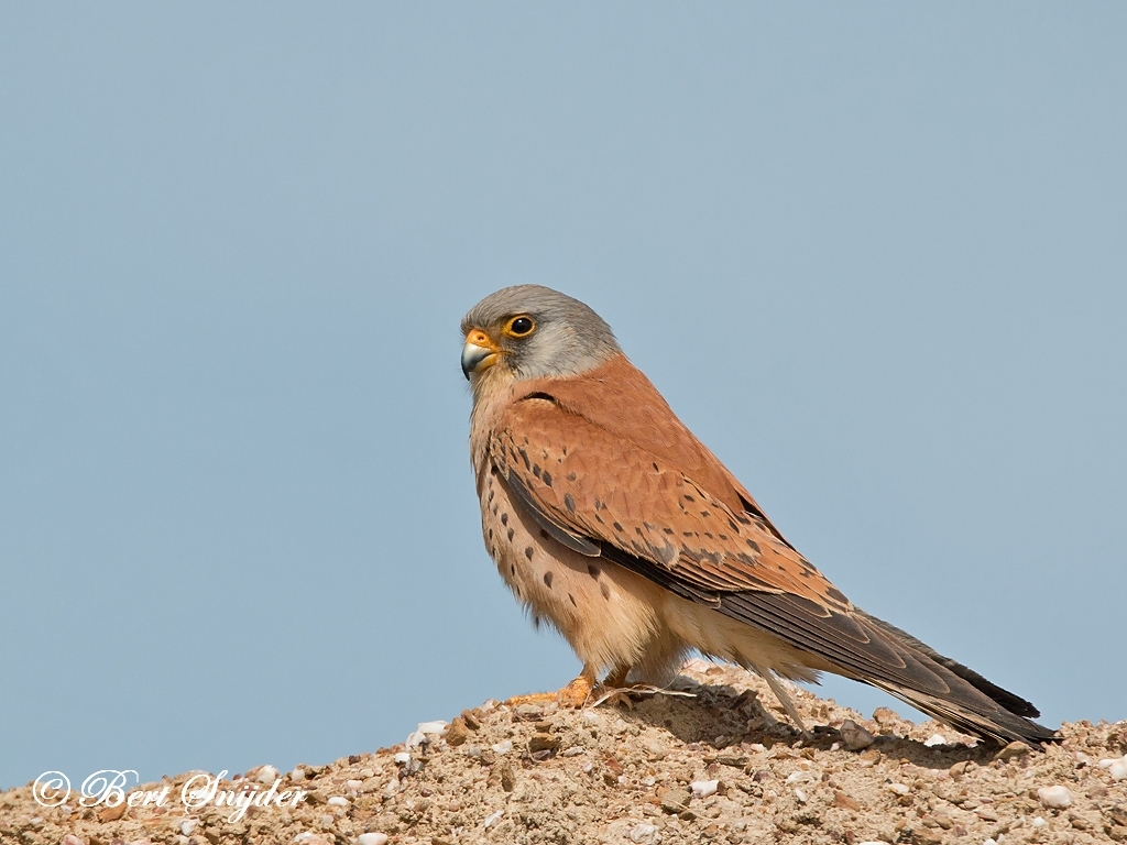 Lesser Kestrel Bird Hide BSP6 Portugal