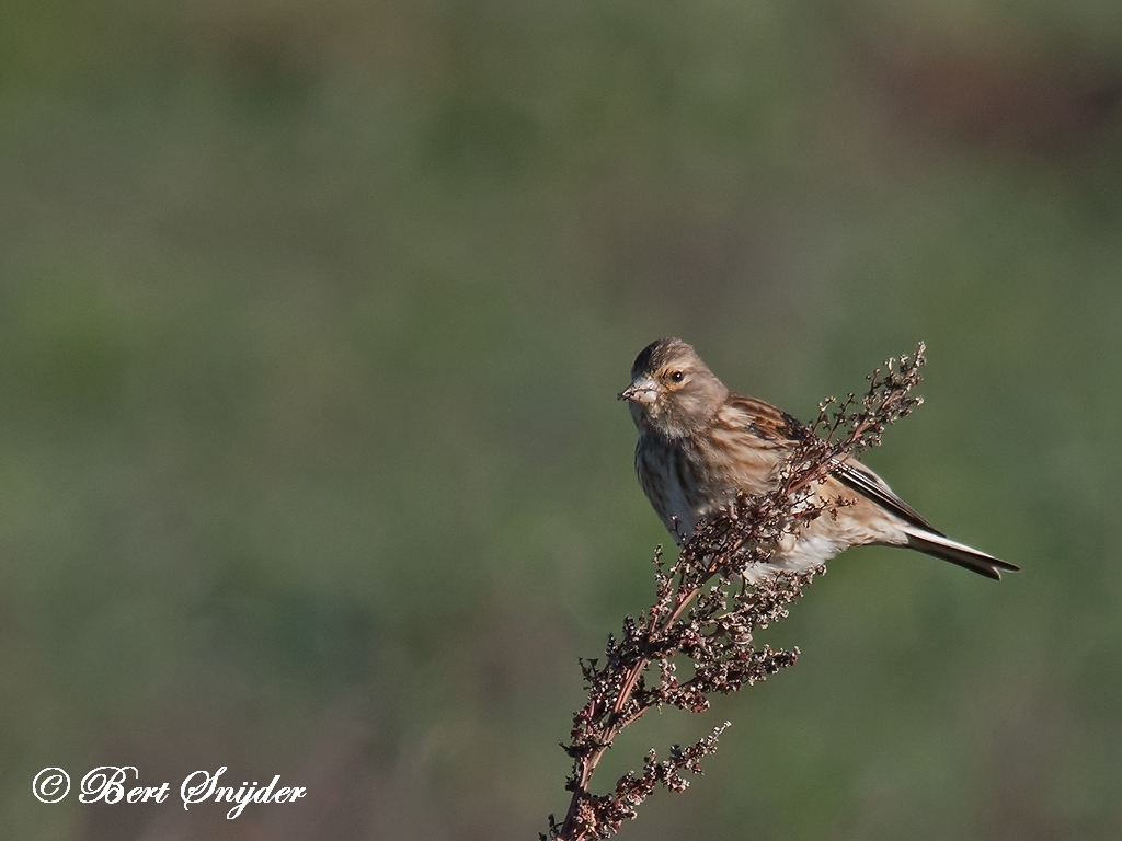 Linnet Bird Hide BSP5 Portugal