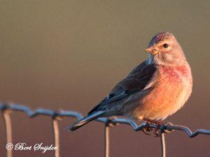 Linnet Bird Hide BSP5 Portugal