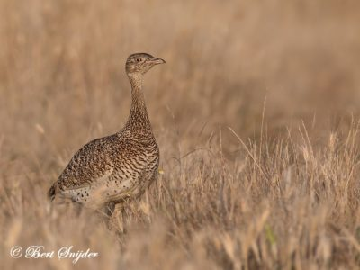 Little Bustard Bird Hide BSP6 Portugal