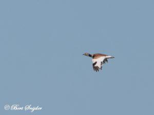 Little Bustard Bird Hide BSP5 Portugal