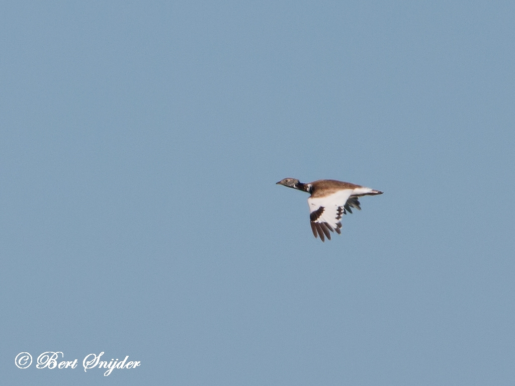 Little Bustard Bird Hide BSP5 Portugal