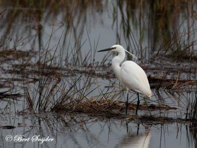 Little Egret Bird Hide BSP2 Portugal