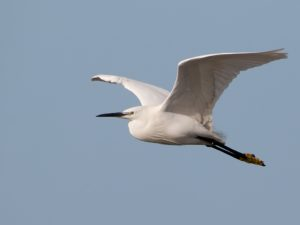 Little Egret Bird Hide BSP3 Portugal