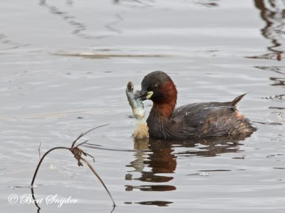 Little Grebe Bird Hide BSP2 Portugal