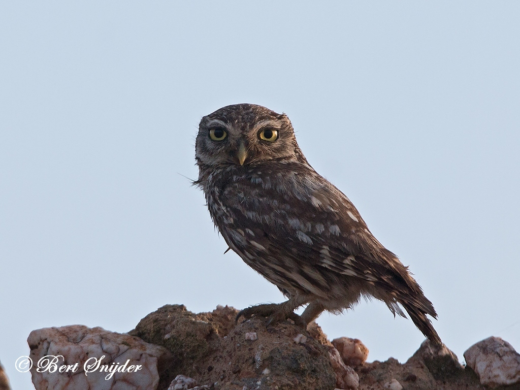 Little Owl Bird Hide BSP6 Portugal