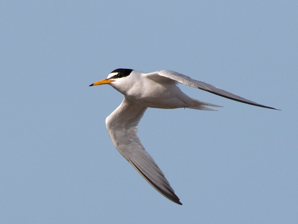 Little Tern Bird Hide BSP3 Portugal