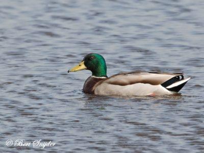 Mallard Bird Hide BSP2 Portugal