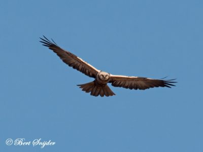 Marsh Harrier Bird Hide BSP2 Portugal