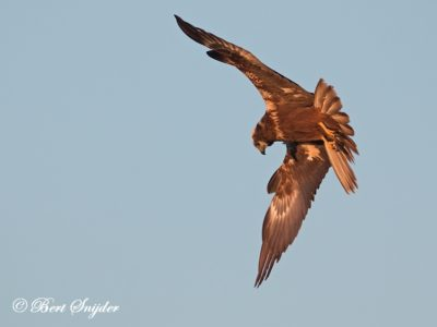 Marsh Harrier Bird Hide BSP3 Portugal