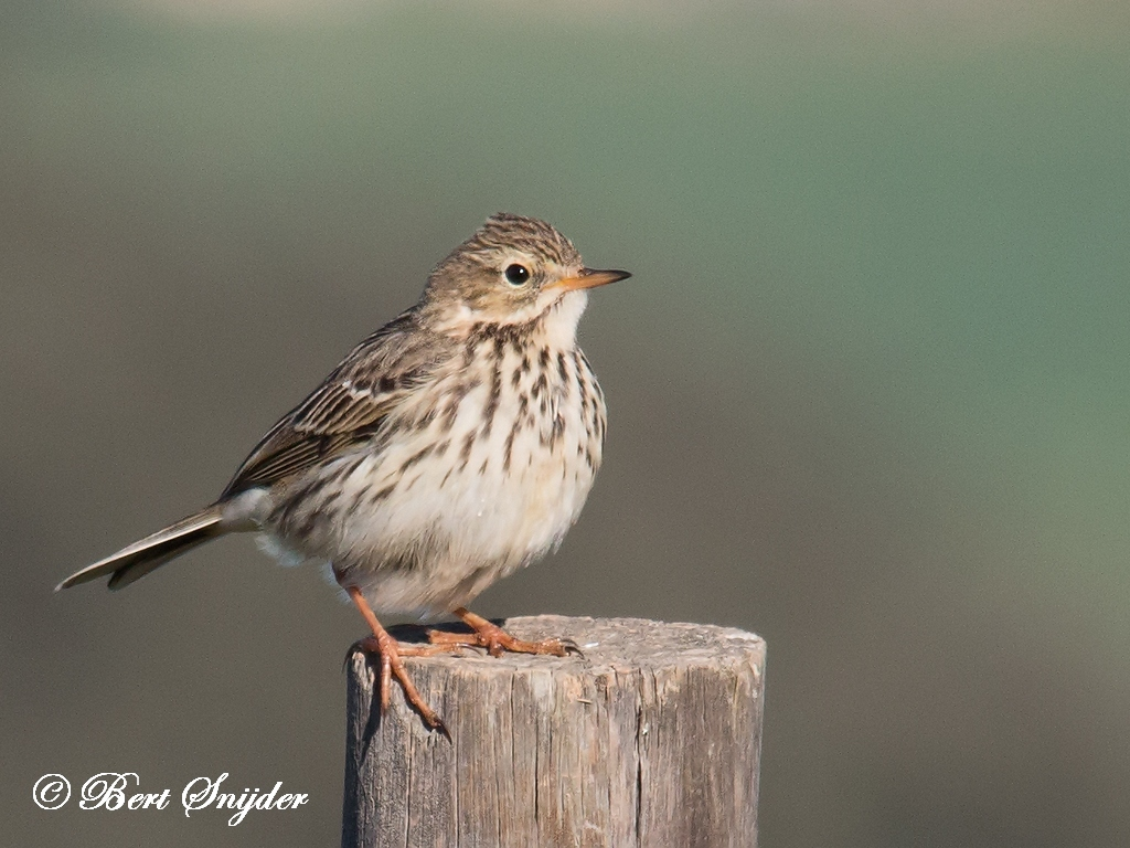 Meadow Pipit Bird Hide BSP5 Portugal