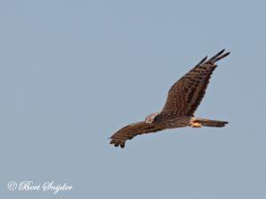 Montagu´s Harrier Birding Portugal