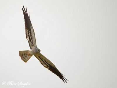 Montagu´s Harrier Birding Portugal