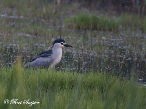 Night Heron Birding Portugal