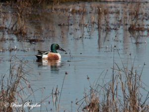 Northern Shoveler Bird Hide BSP2 Portugal