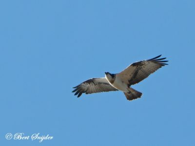 Osprey Bird Hide BSP2 Portugal