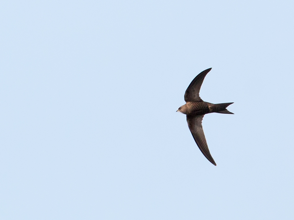 Pallid Swift Bird Hide BSP3 Portugal