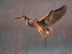 Purple Heron Bird Hide BSP3 Portugal