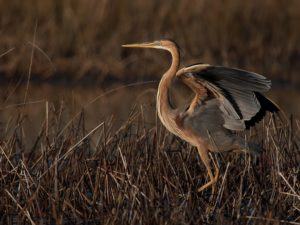 Purple Heron Bird Hide BSP3 Portugal