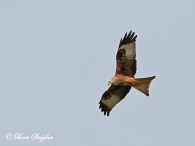 Red Kite Bird Hide BSP6 Portugal